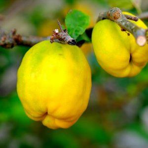 Cotognata e marmellata di mela cotogna ortofrutta abruzzese