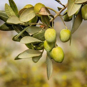 Olive intosso ortofrutta abruzzese